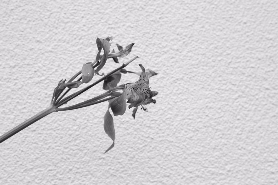 flower white simple monochromatic black and white nature stem