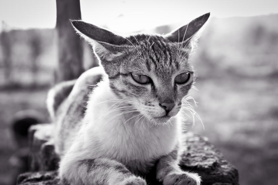 animals feline cats whiskers snout fur cute adorable eyes black and white bokeh