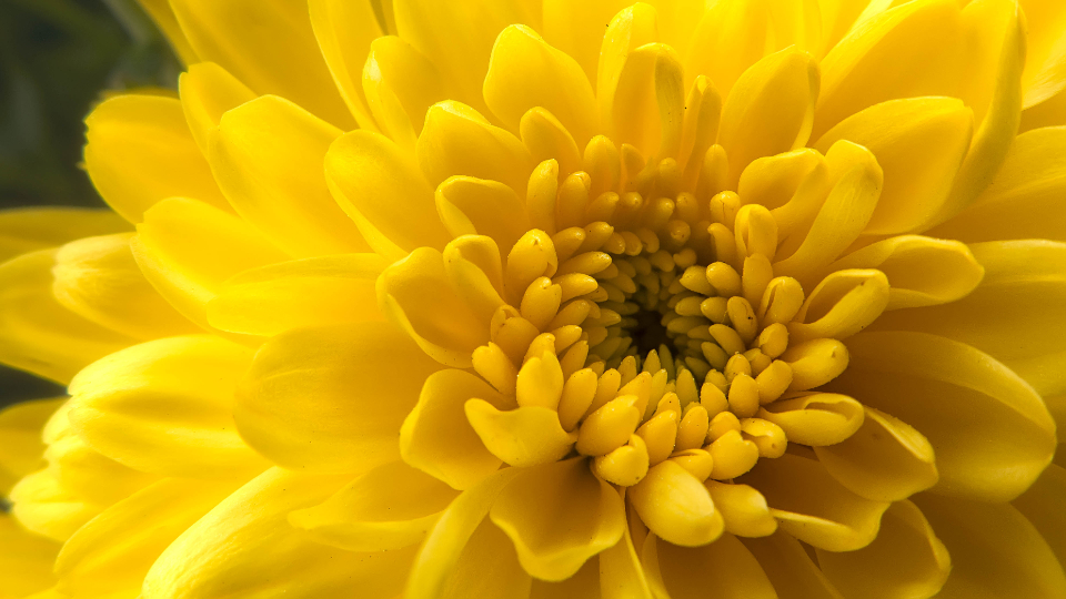 yellow flower close up macro nature natural organic petals pollen garden fresh bloom blossom botany vibrant colorful bold wallpaper