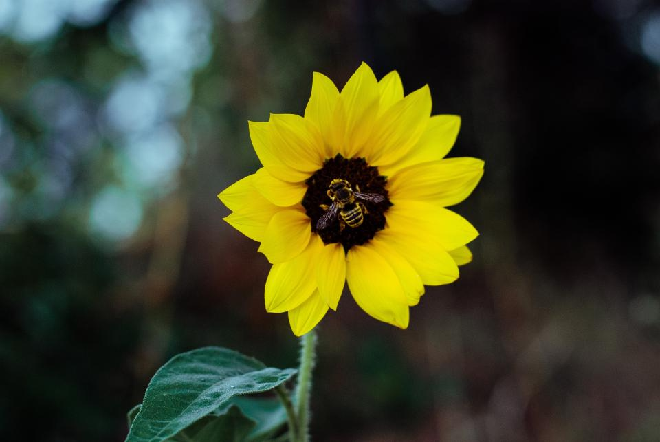 flower yellow petal bloom garden plant nature autumn fall sunflower