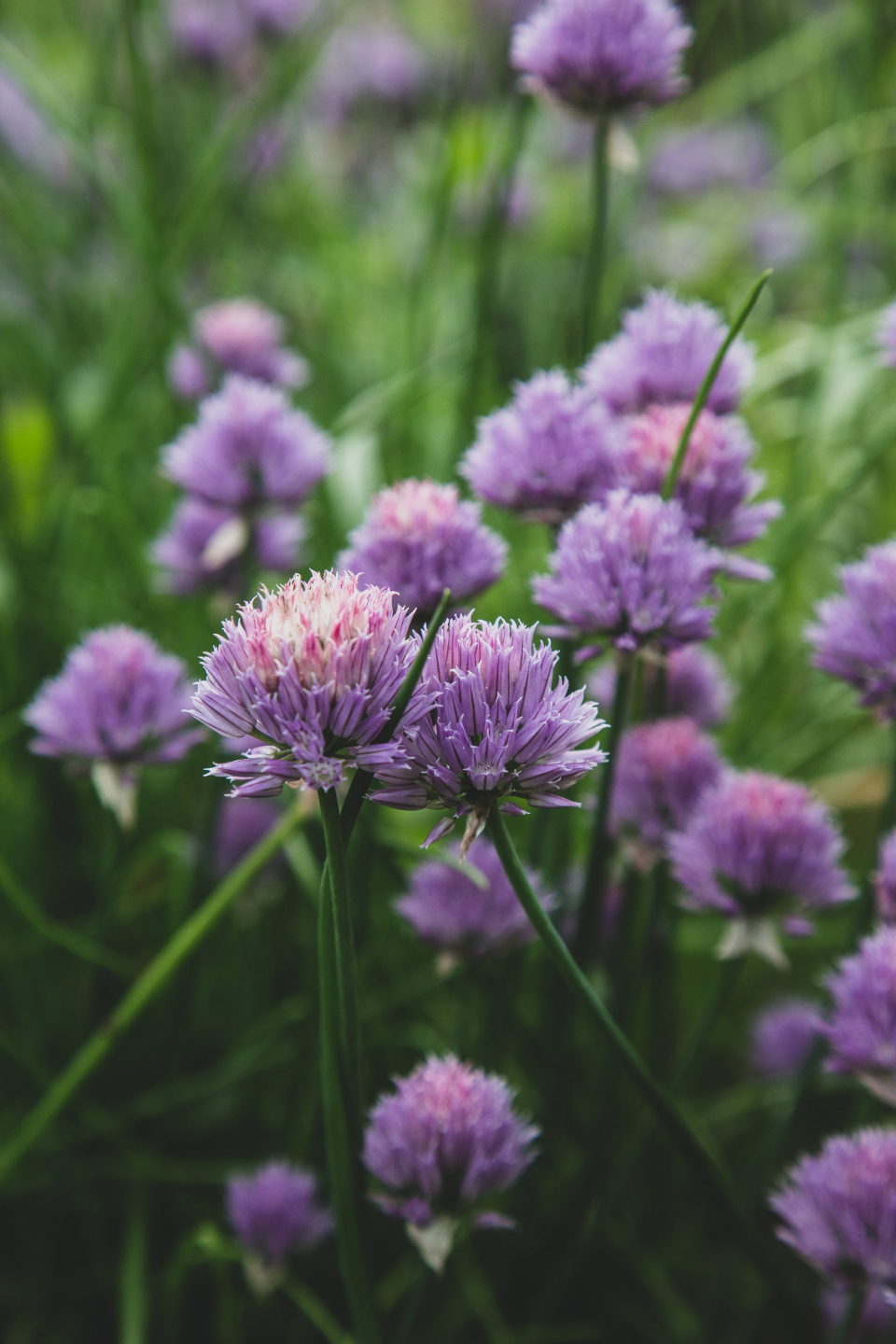 chives blossom garden nature wild purple bloom plants botanical ingrediant close up