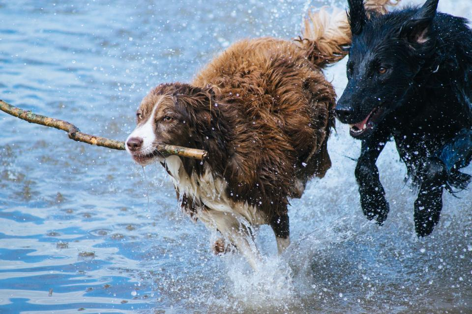 animals dogs running play fetch race adorable nature water shore splash ripples twig branch