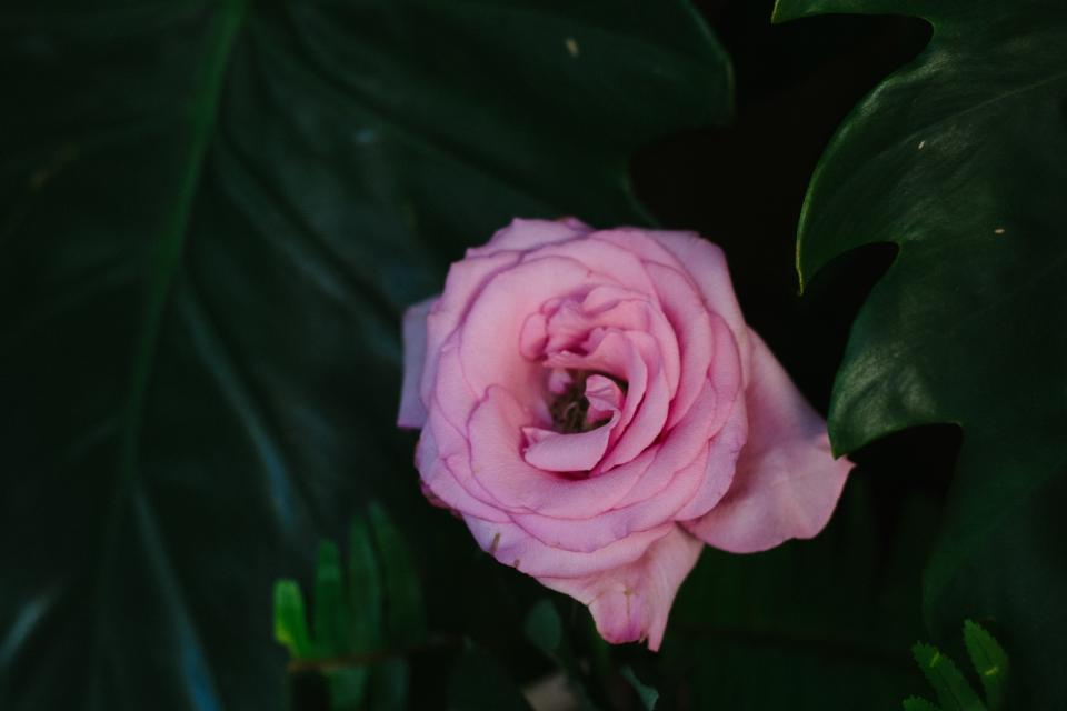 dark green leaf plant rose pink petal