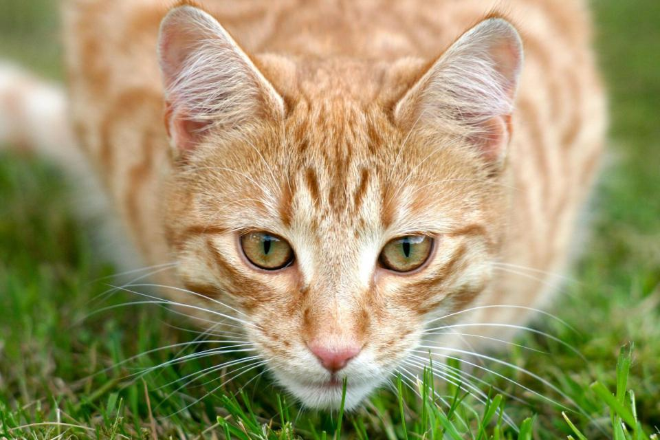 cat grass animal outdoor whiskers bokeh orange pet fur green