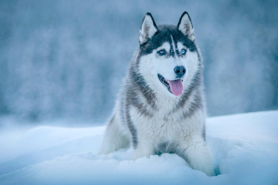 dog animal husky snow winter cold weather white eyes tongue environment
