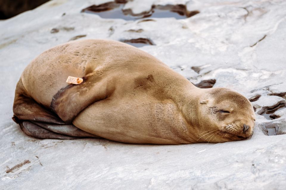 sea lion animal sleep rocks coast