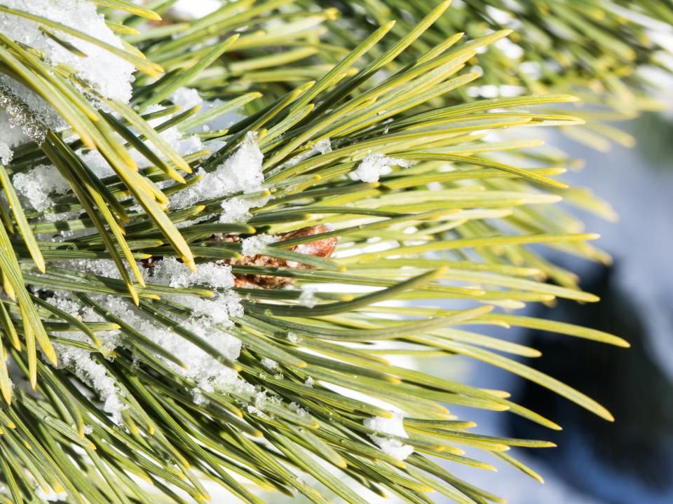 spruce green leaf plant nature ice snow winter cold weather clouds