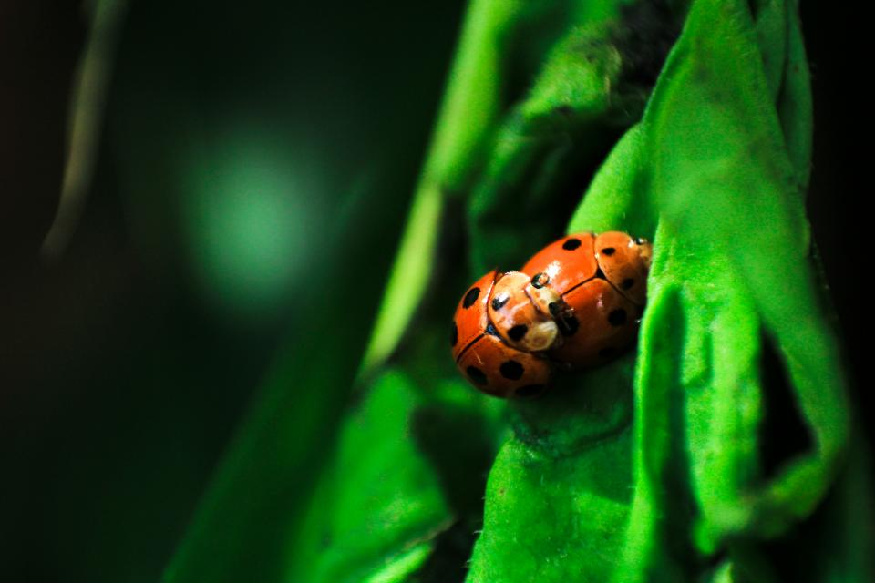 beetle bug insect outdoor green leaf nature blur ladybird