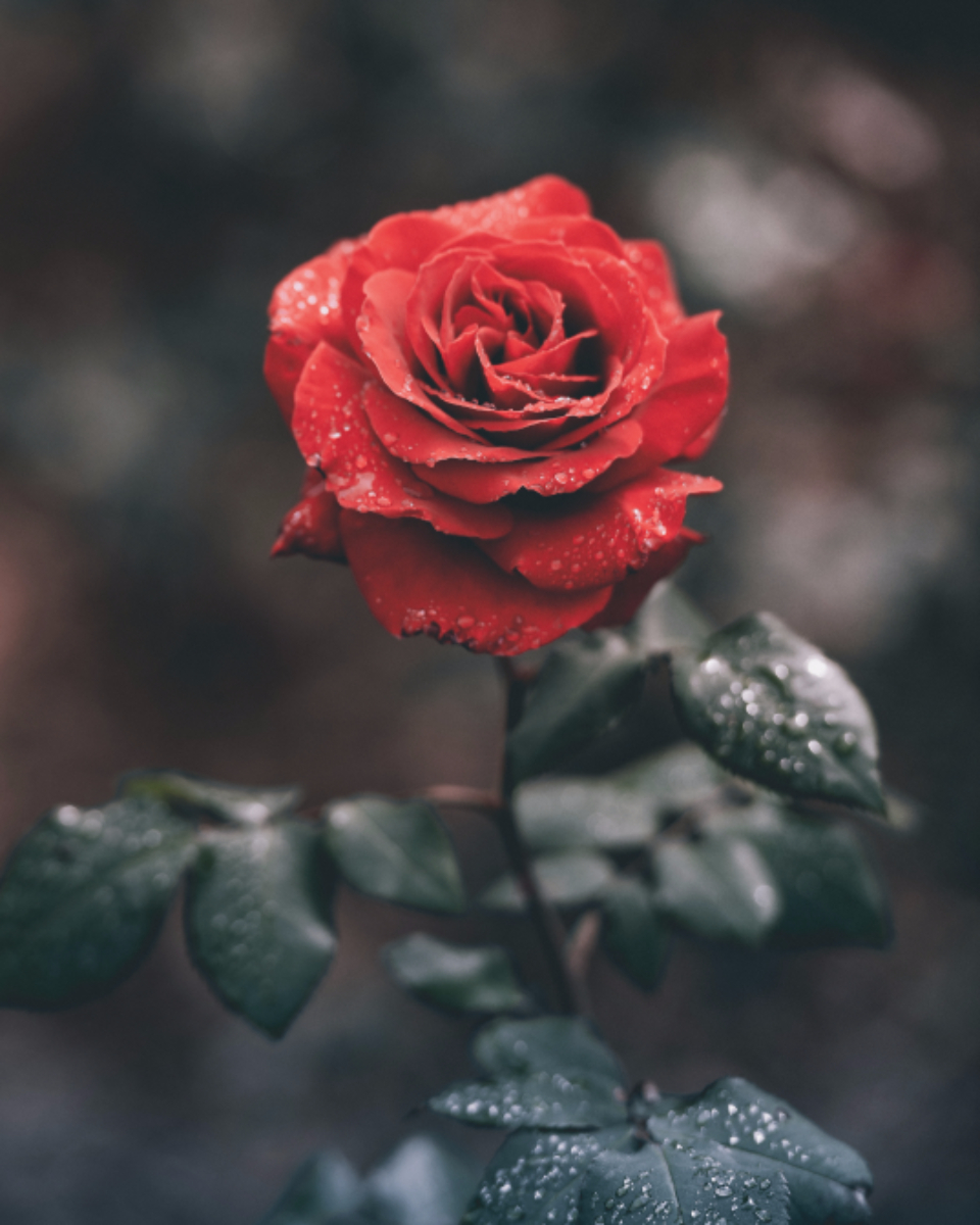 rose red green leaves nature flower fauna
