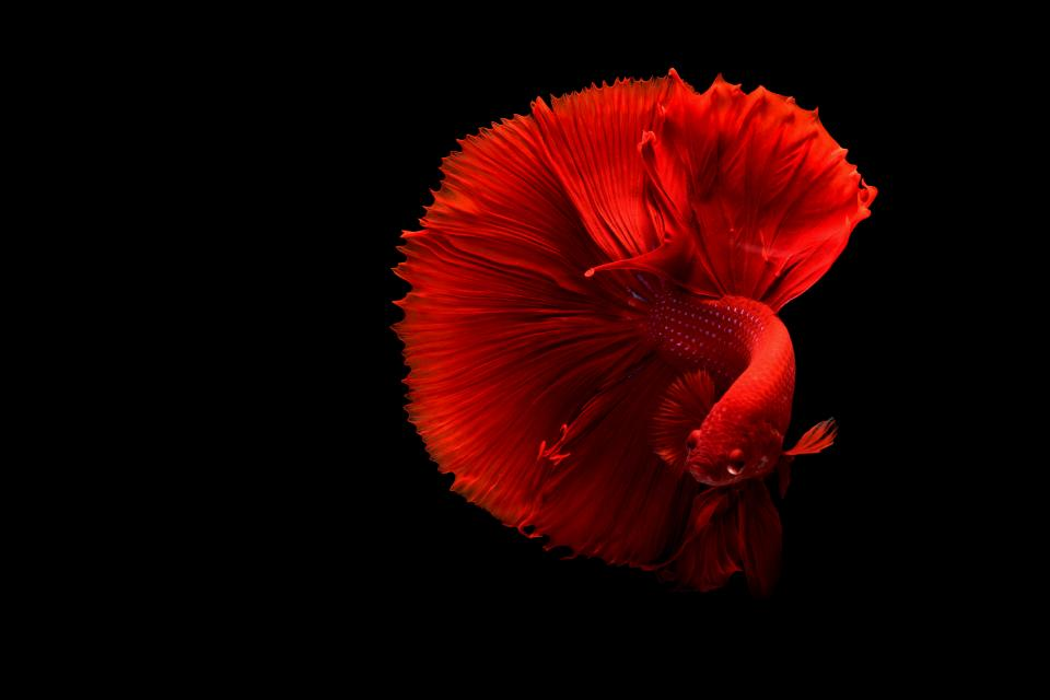 fish underwater red betta aquarium