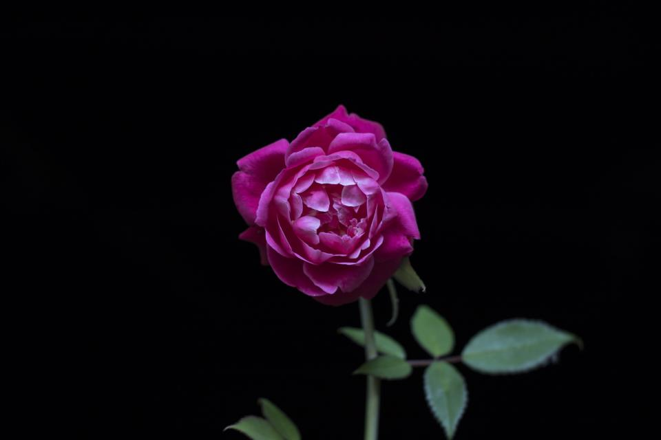 dark pink rose flower green leaf plant nature blur