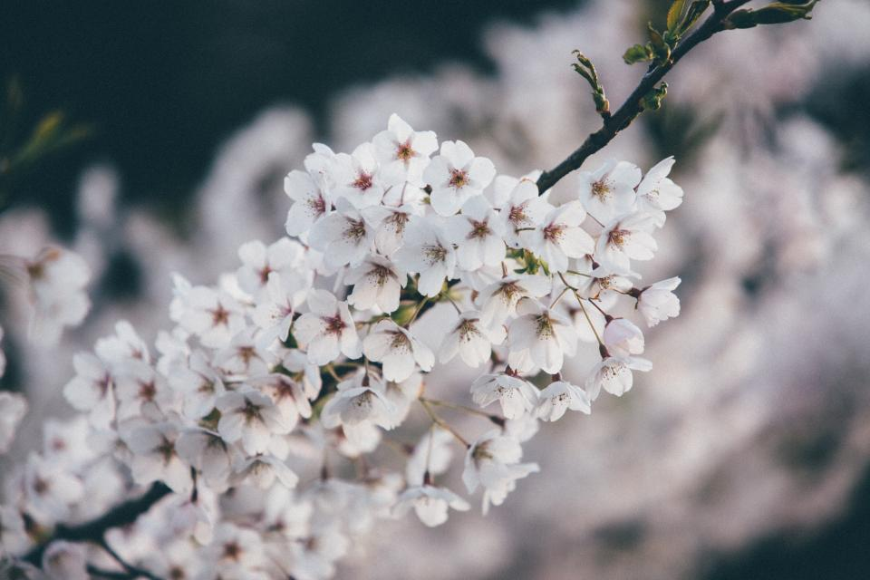 flowers nature cherry blossoms branches white petals bokeh outdoors