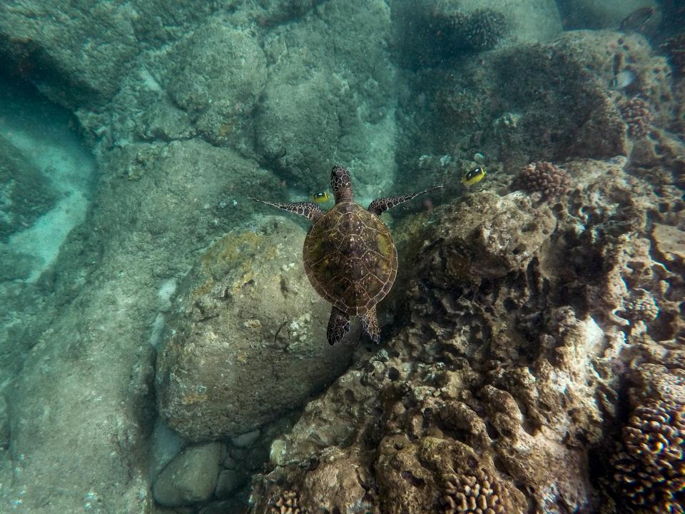 nature sea turtle ocean blue water rocks fish corals