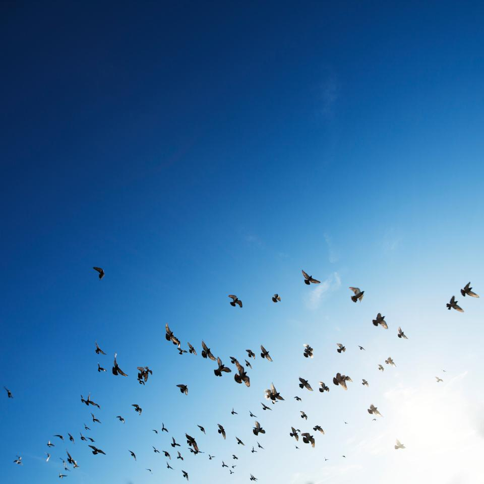 flock birds flying animals blue sky