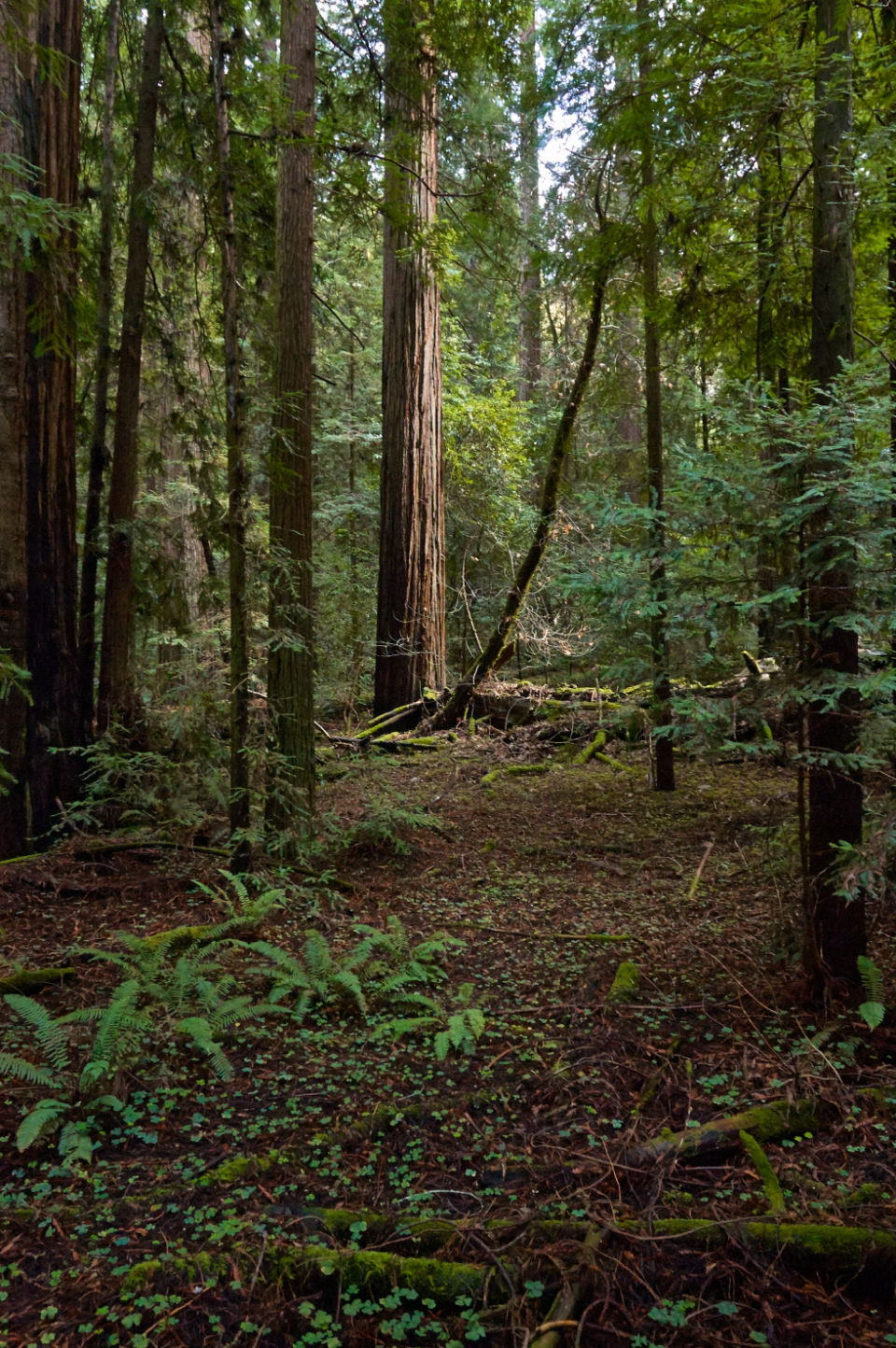 trees forest woods nature path trail branches leaves redwood mossy outdoors adventure trek hike fallen