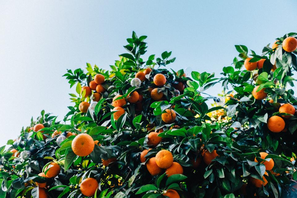 orange fruit nourish juicy food plant vitamin healthy green leaves blue sky