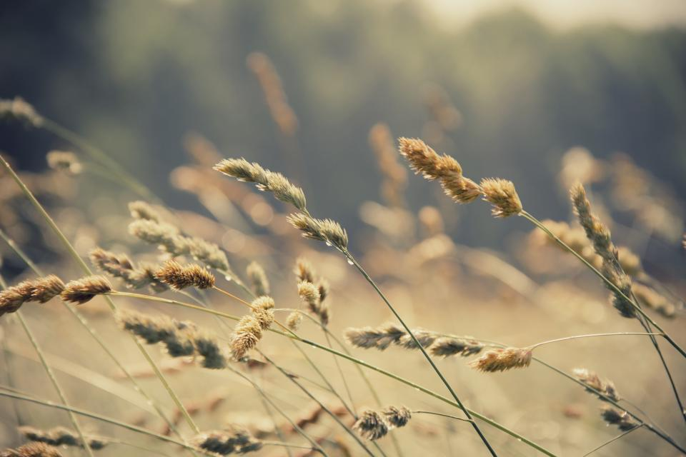 nature plants wild grass sway wind nostalgic still bokeh sepia brown