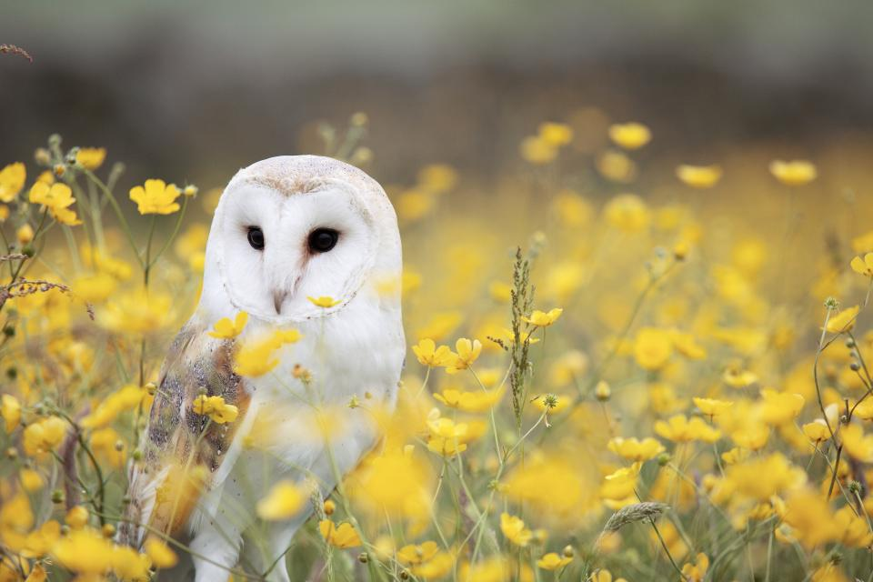 animals birds owl field flowers plants stems stalks yellow petals still bokeh beautiful