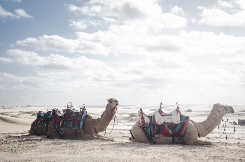 camel animal desert nature landscape clouds sky