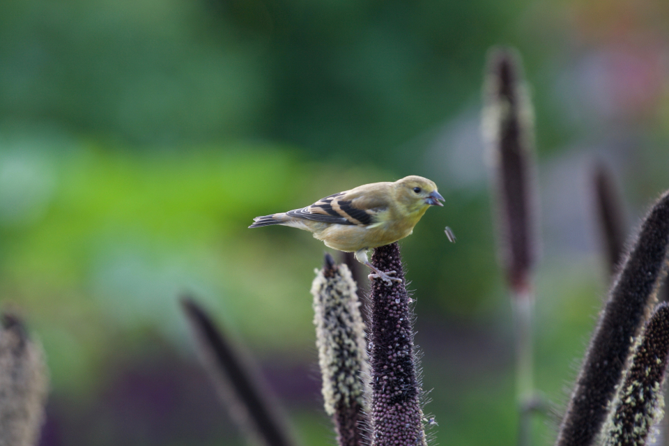 bird perched colorful animal feathers wildlife nature outdoors bokeh finch wings