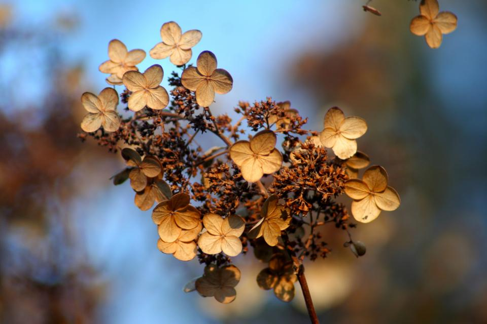 hydrangea autumn fall flowers