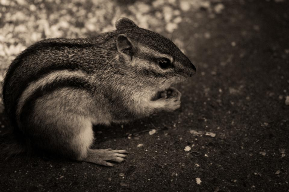 chipmunk animals black and white nature