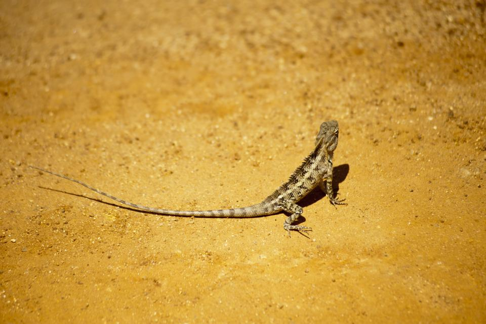 wildlife nature reptile animal lizard iguana ground