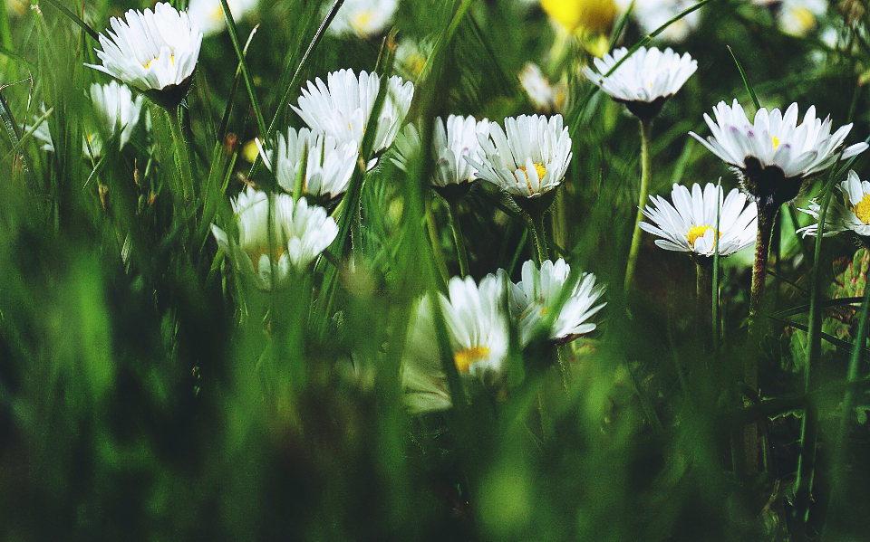 daisies flowers grass close up flora nature outdoors fresh spring organic environment plants