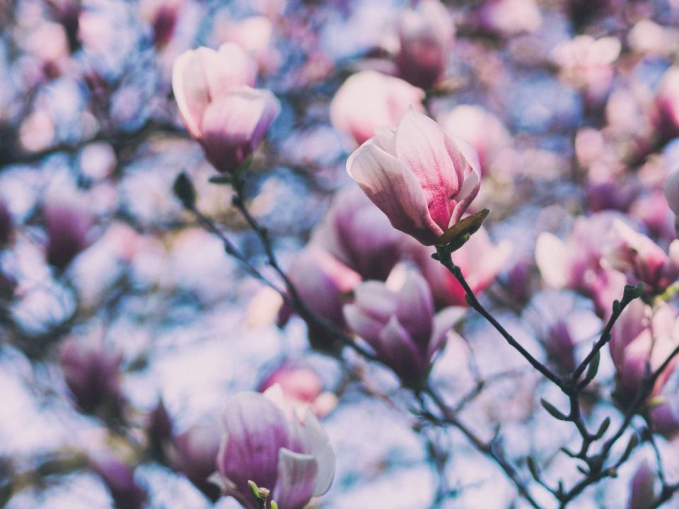 flower pink bloom nature plant bokeh blur tree