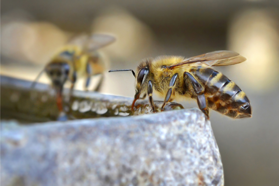 bee drinking water sunny day insect insects animal honey hive nectar nature macro close up