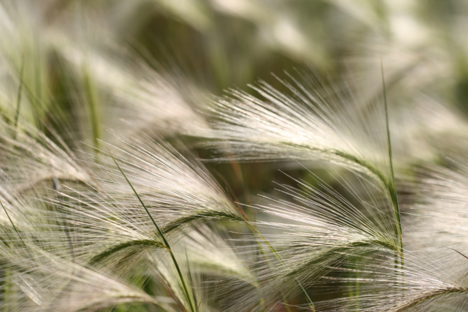 tall grass background field seed growth close up natural pattern nature plant wild country farm