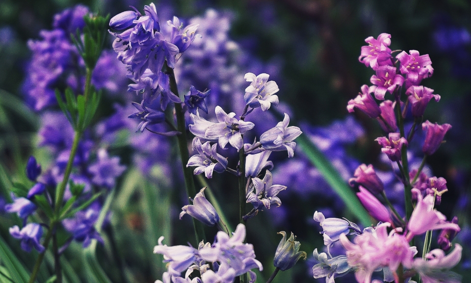 bluebells flowers flora floral nature plants meadow garden close up bloom blossom botany