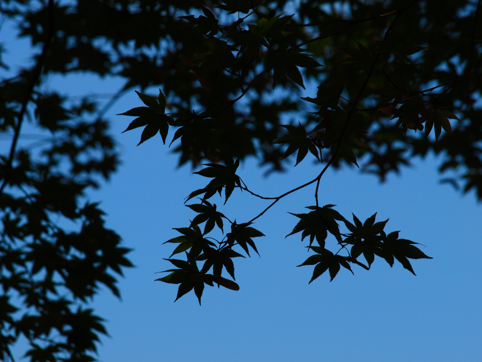 leaves tree branches silhouette sky dusk night leaf maple nature natural pattern outdoor isolated