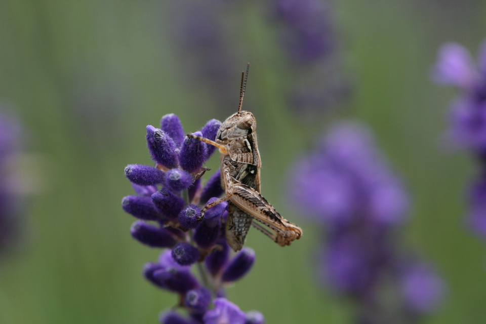 grasshopper close up sitting insect bug field macro cricket nature green flora detail legs eyes antenna environment