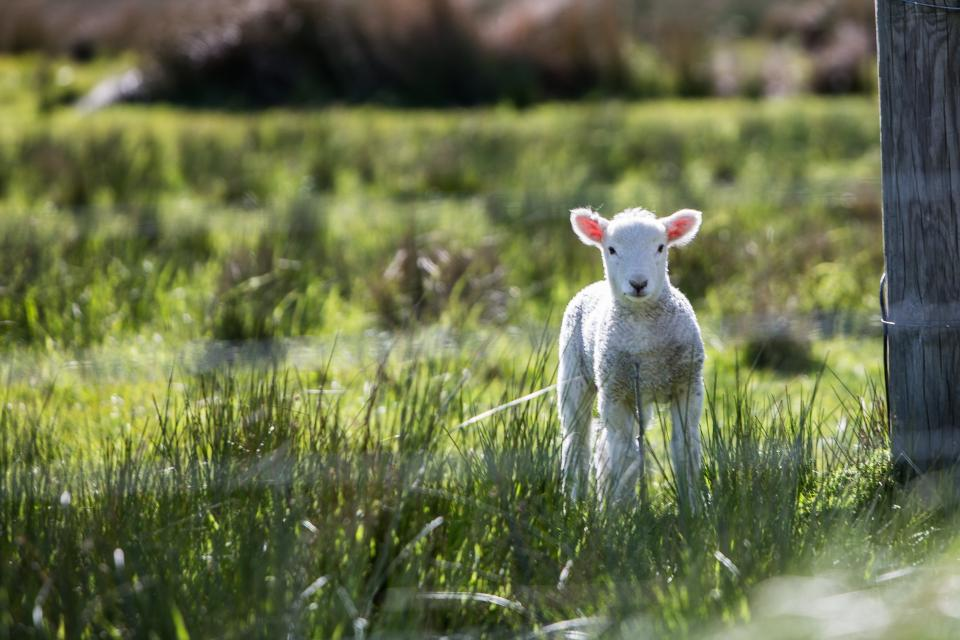 animal ram lamb fence steel wooden grass land field farm herbivore green white bokeh blur