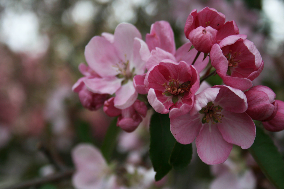 apple blossoms nature flowers blooming flora floral fruit orchard pink petal plant branch close up bokeh