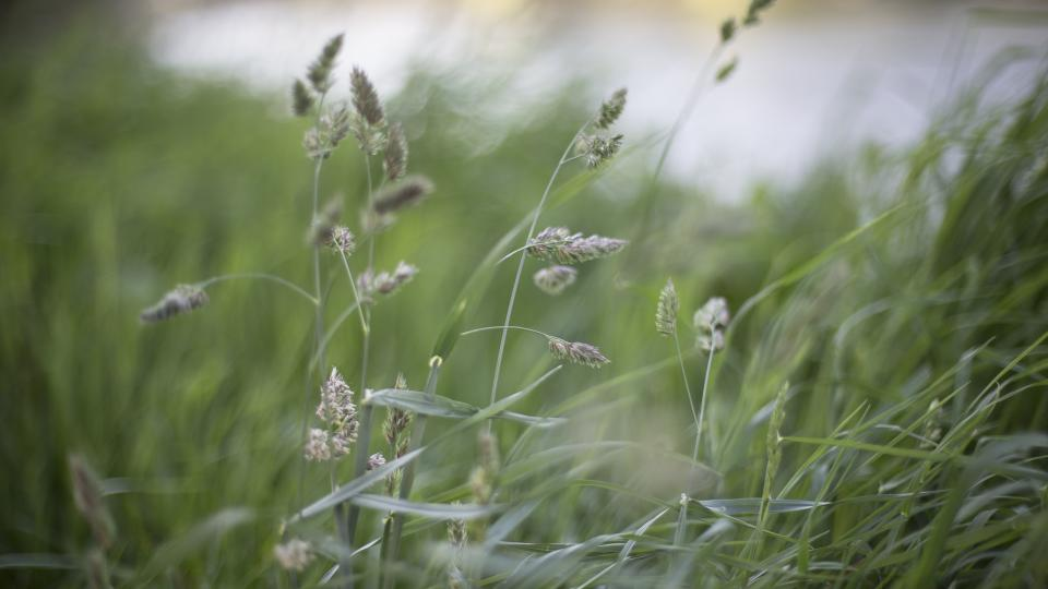 nature grass buffalo stems stalks sway wind bokeh