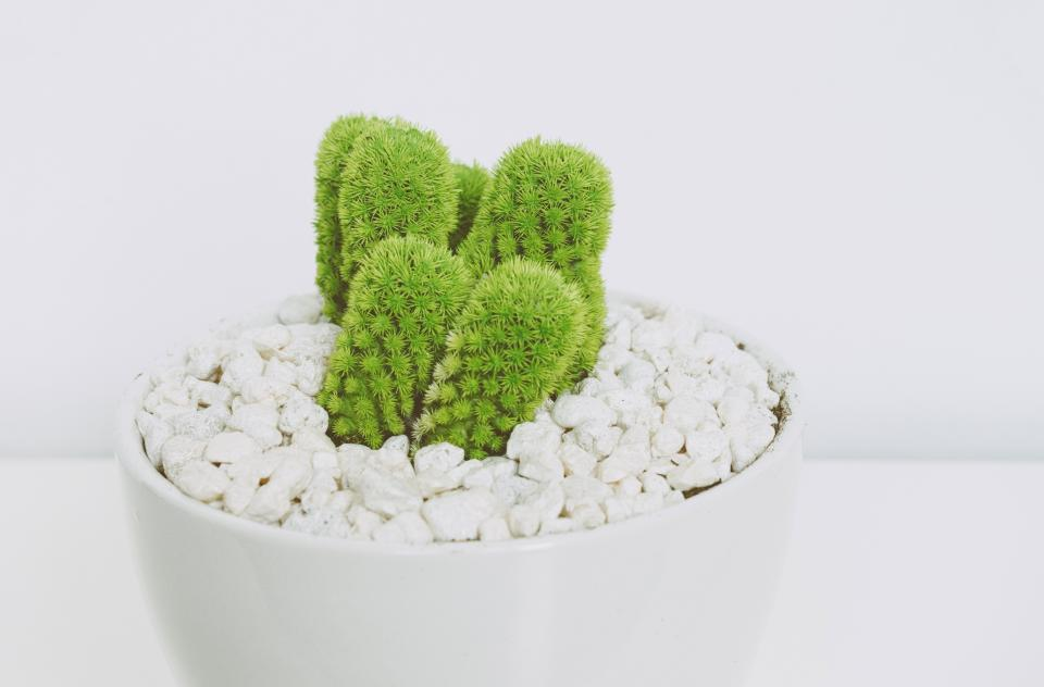 thing plants bonsai cactus green thorn pot pebbles rock small white wall
