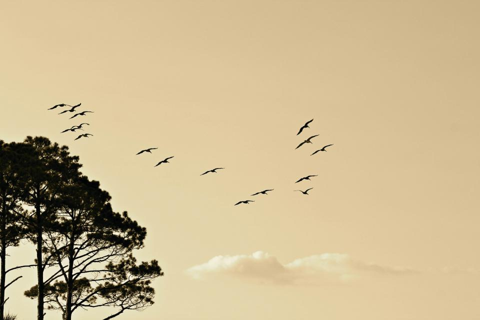 birds animals flying sky sunset clouds trees nature
