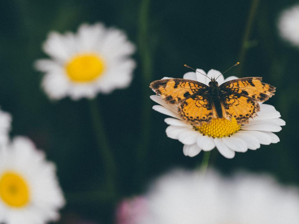 daisy daisies flowers butterfly nature garden