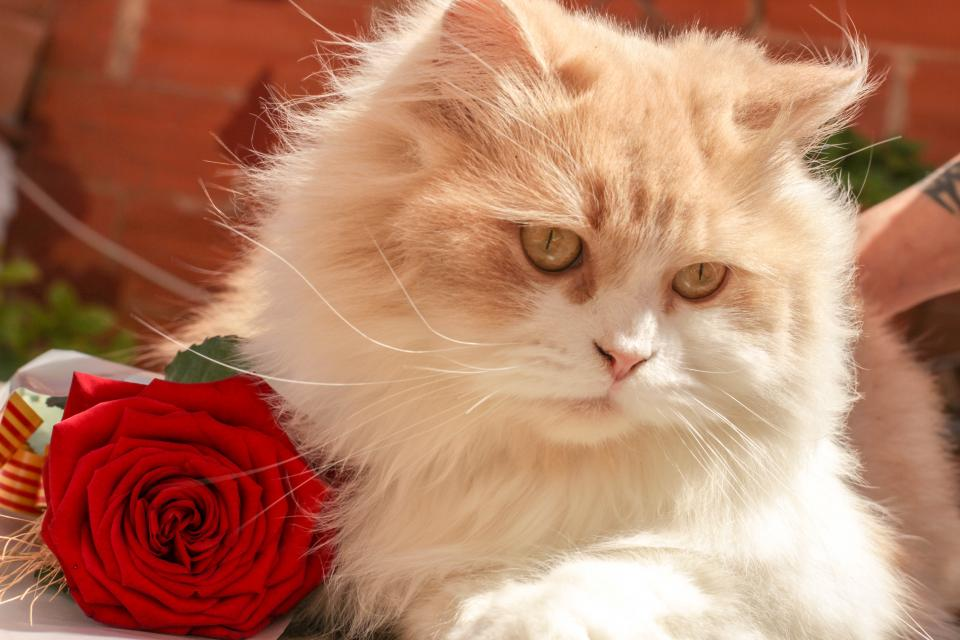 animals cats pets domesticated eyes adorable fluffy cute whiskers rose bokeh