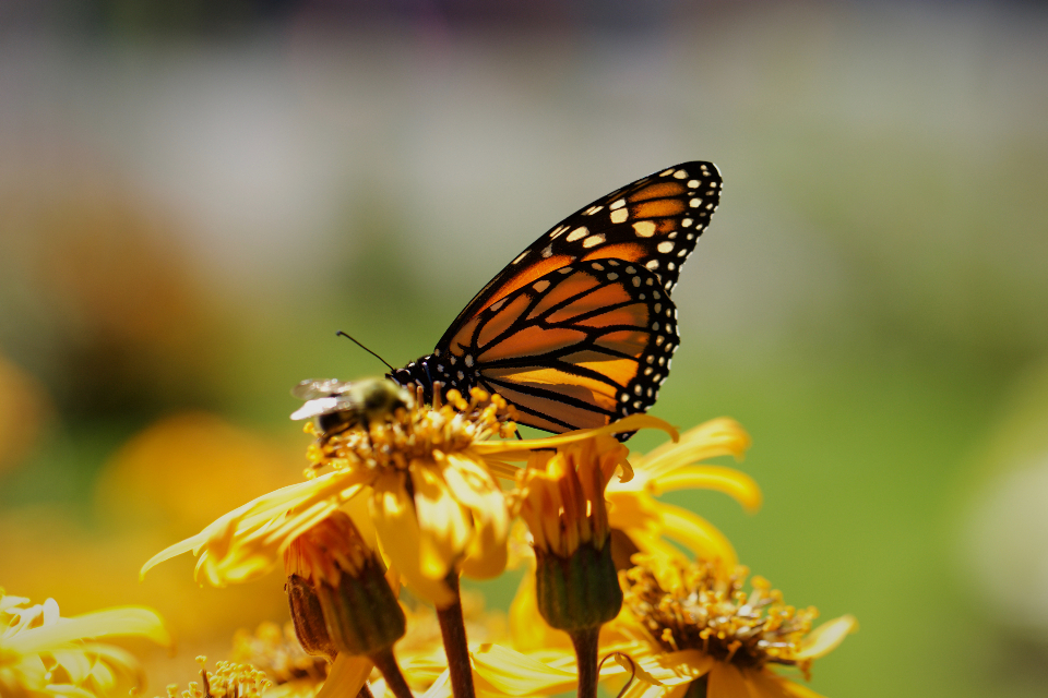 butterfly insect garden summer detail bug wings nature colorful wild outdoor wildlife bokeh flower monarch