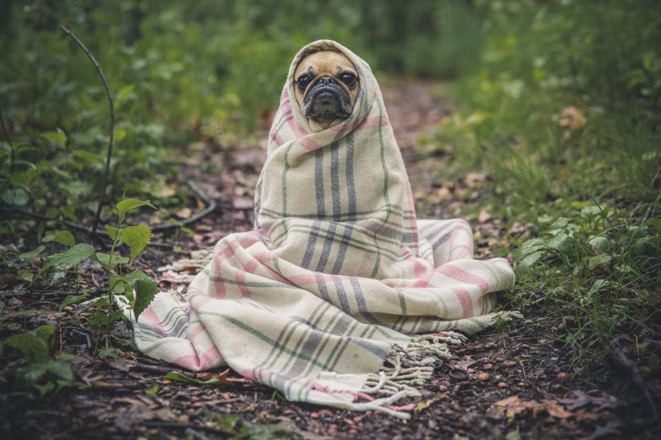 pug dog pet animals blanket cute nature