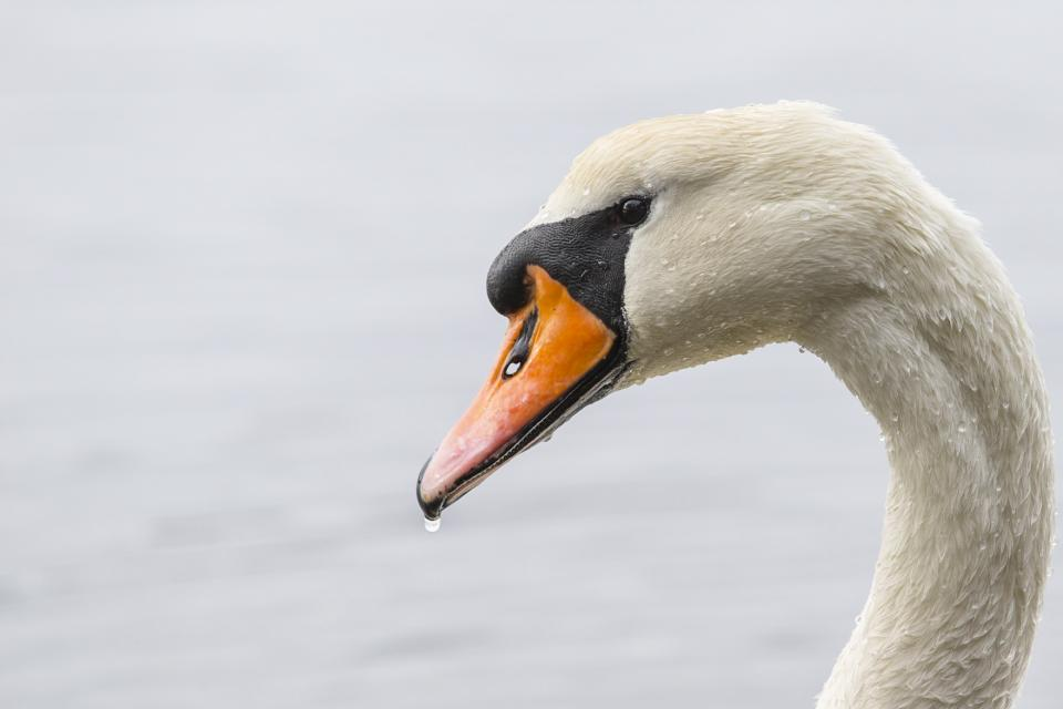 swan beak white eyes bird water river lake