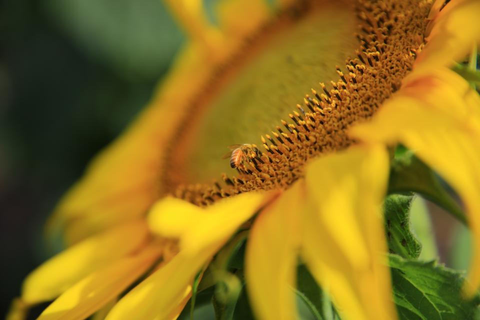 sunflower yellow petal field farm garden nature plant blur bee insect