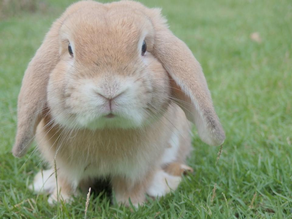 rabbit pet animal green grass lawn