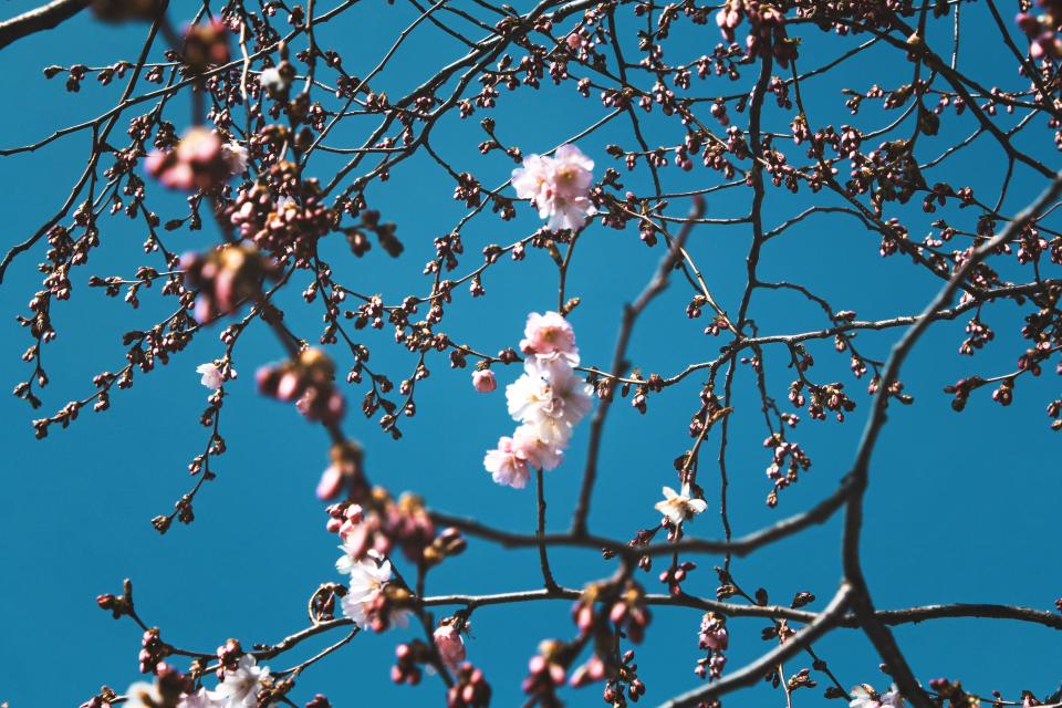 flowers nature blossoms branches stems stalk white pink petals trees bokeh outdoors garden