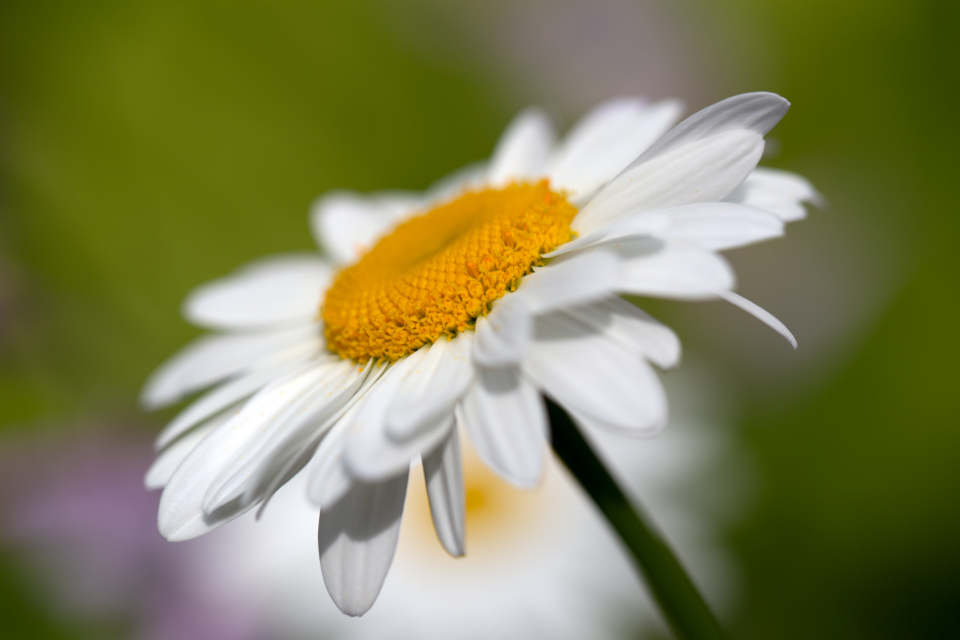 white daisy flower spring organic nature growth natural bloom blossom close up flora plant petals bokeh botanical