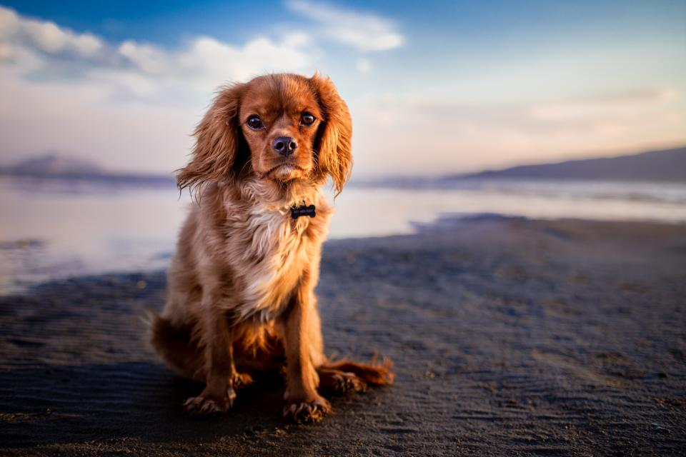 dog puppy pet animal sea water coast beach ocean sand sky clouds