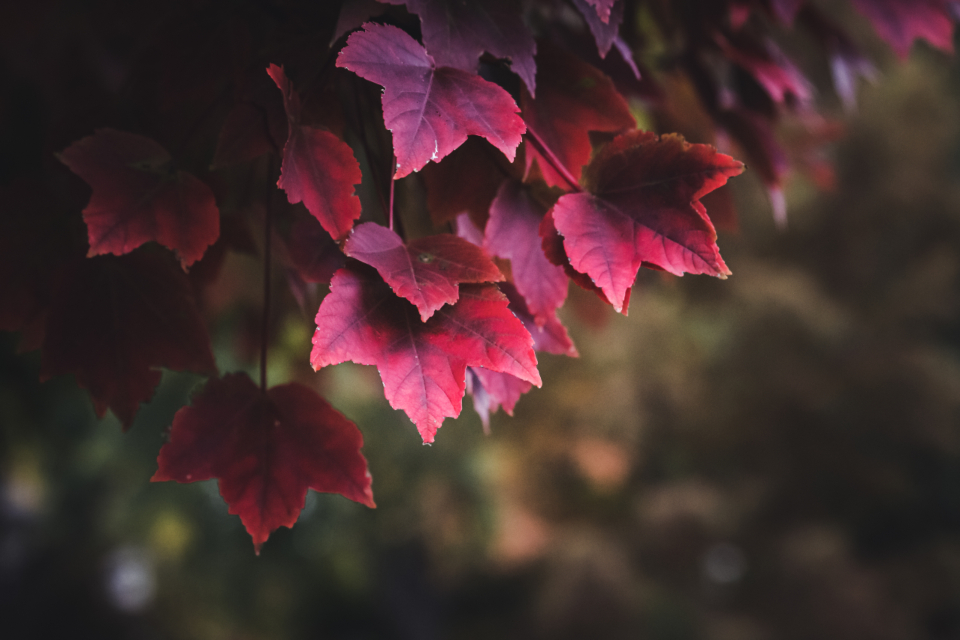red autumn leaves foliage branch fall bokeh tree nature maple outdoors seasonal forest organic plants